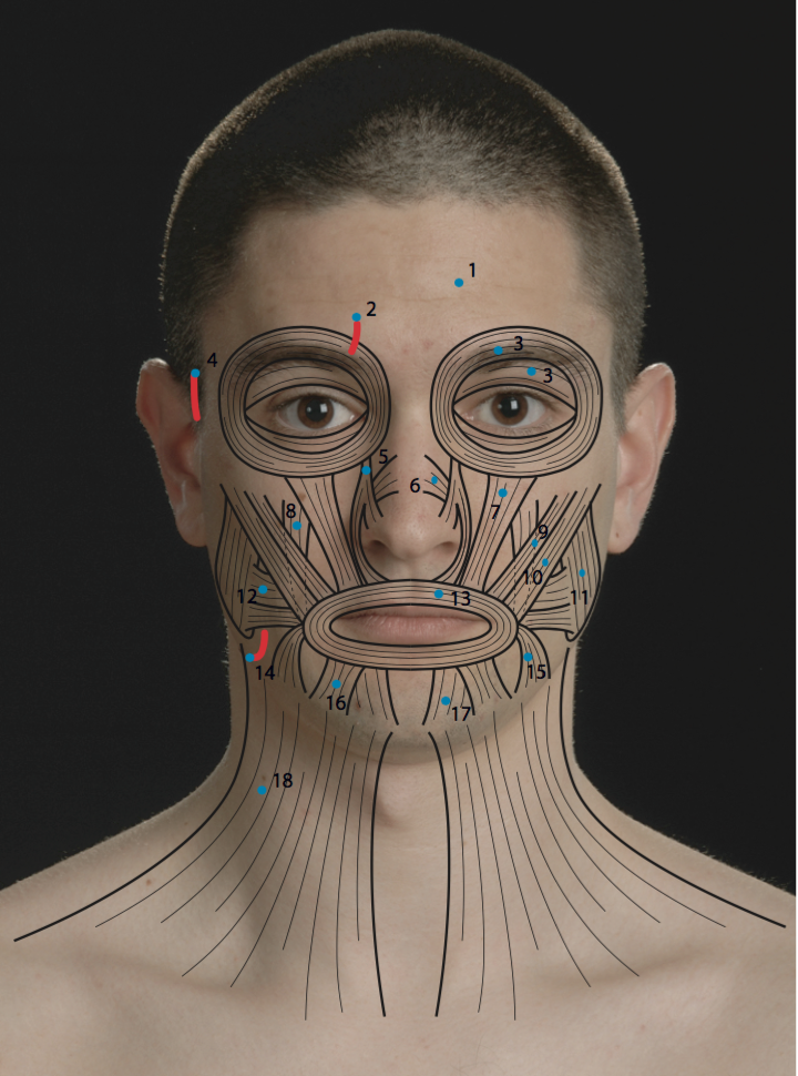 from Brice facial muscles and nerves